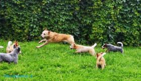 Australian kattle dog